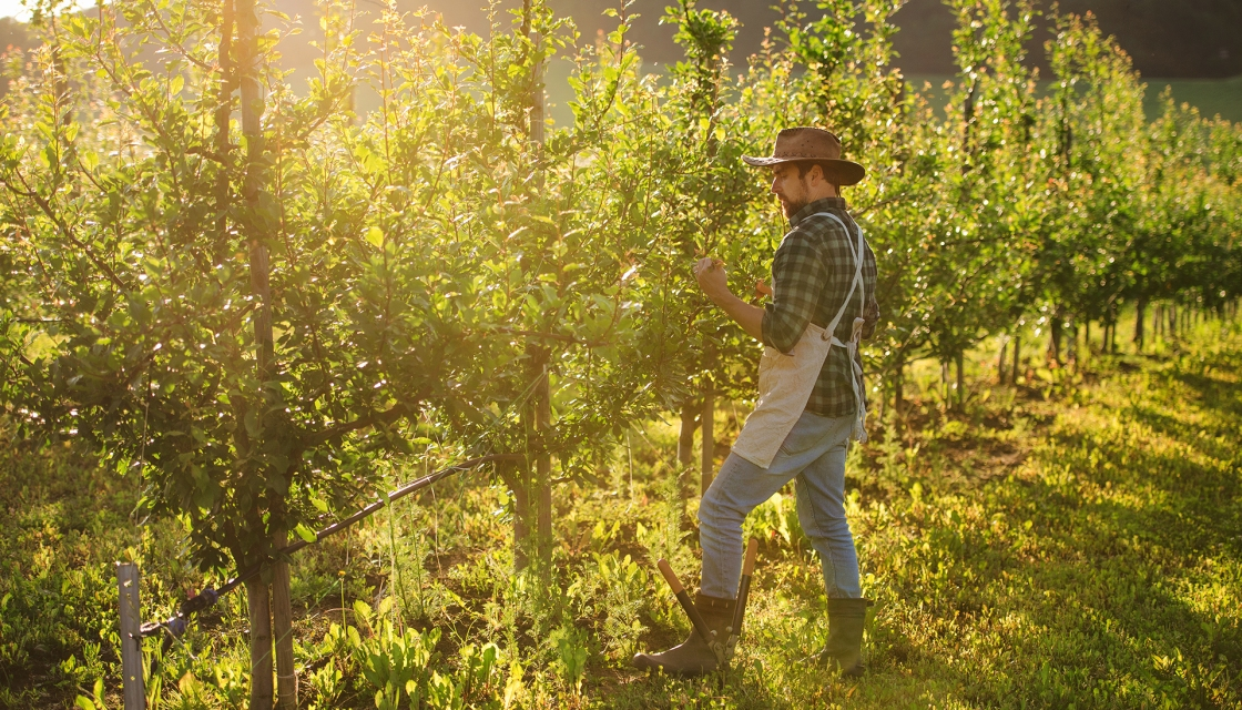 Mr Meurs working in his orchard.