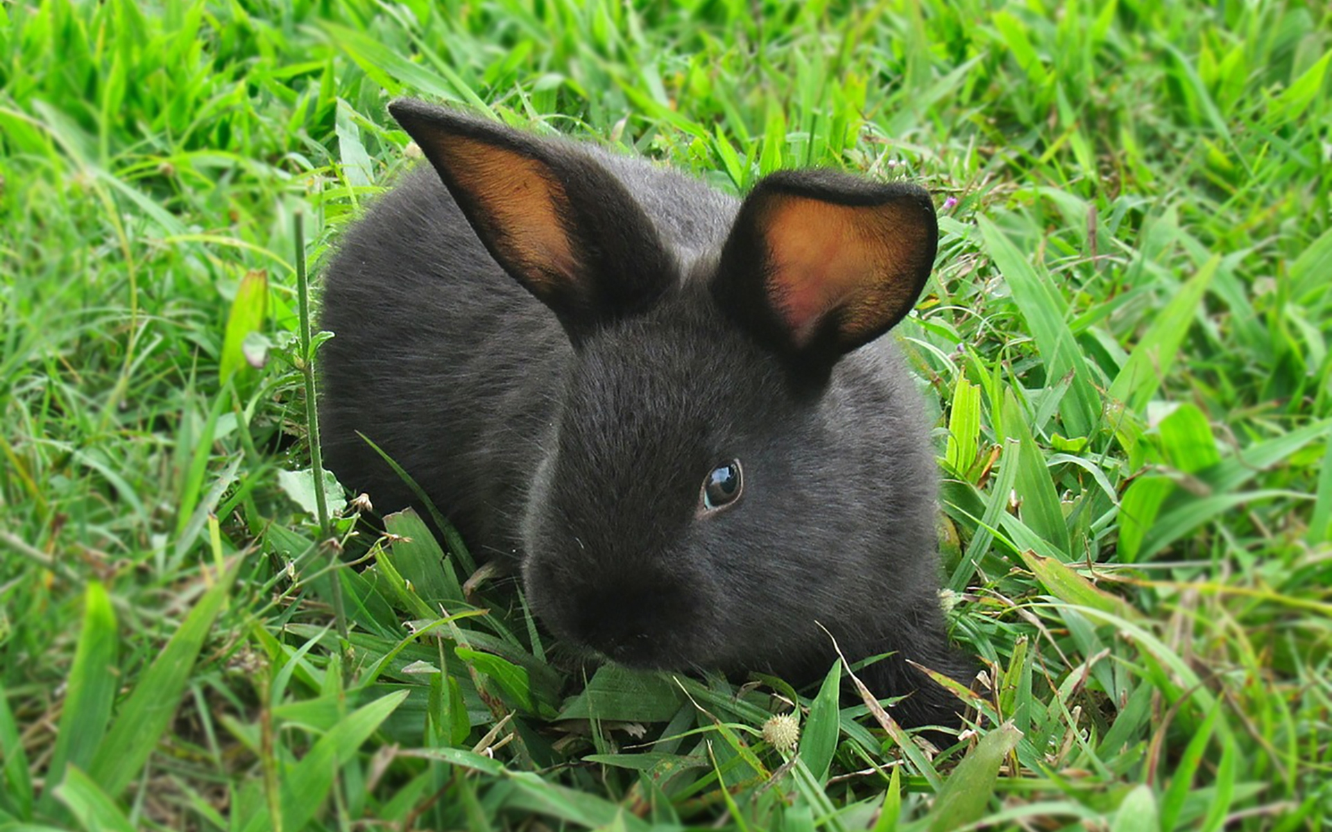 Blossom the little black rabbit enjoying the soft green grass in the farm's garden.