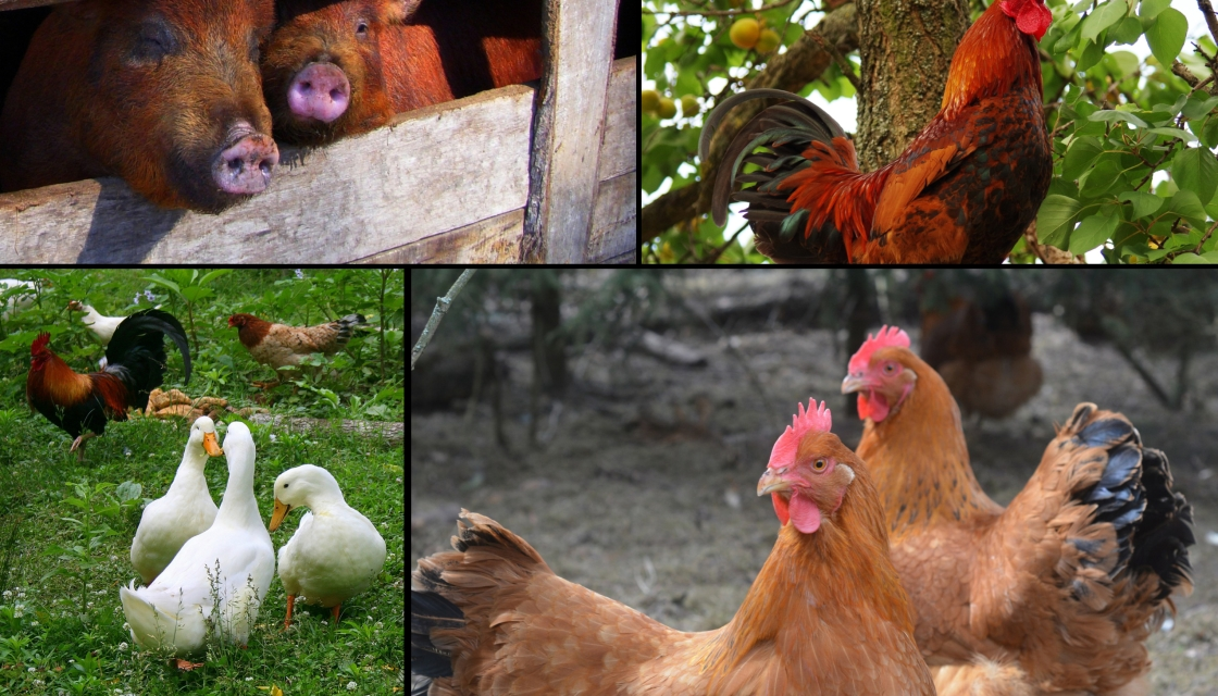 Some of the animals who live on Lavender Farm.