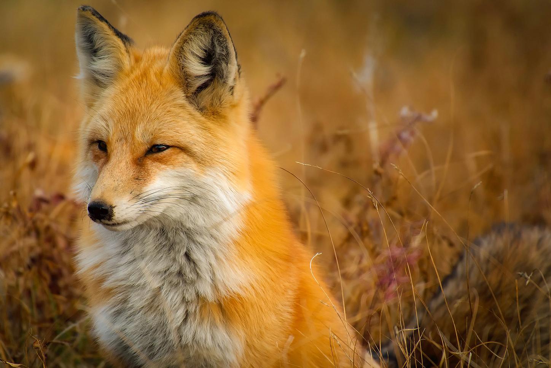 Rhedwr the fox.