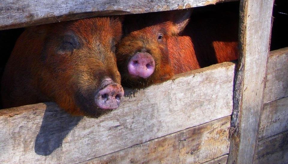 pig-1531167_1920_brownpigs_crpd
