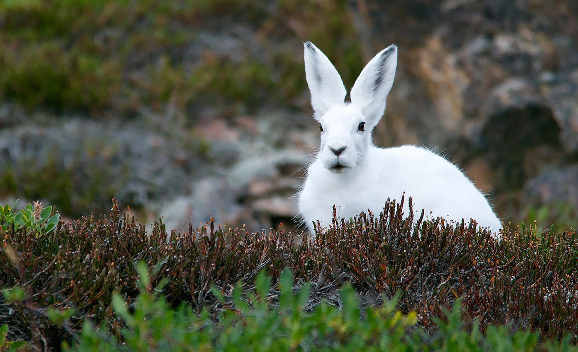 Mysterious white hare Celyn Tegid.