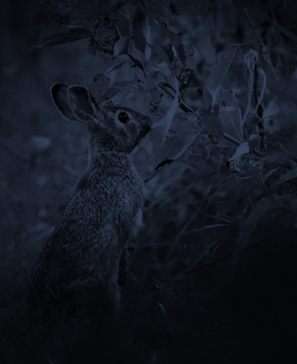 Bandit in the grass at night, suddenly sits up, alerted by a strange sound.