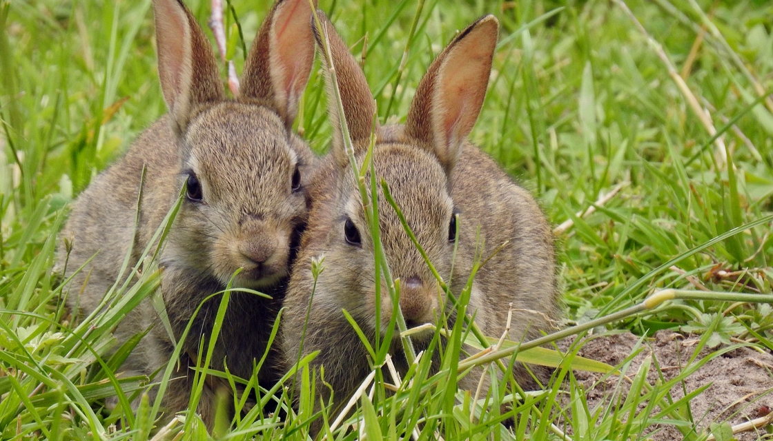 Two, young wild-rabbit relatives of Agatha Bunny.