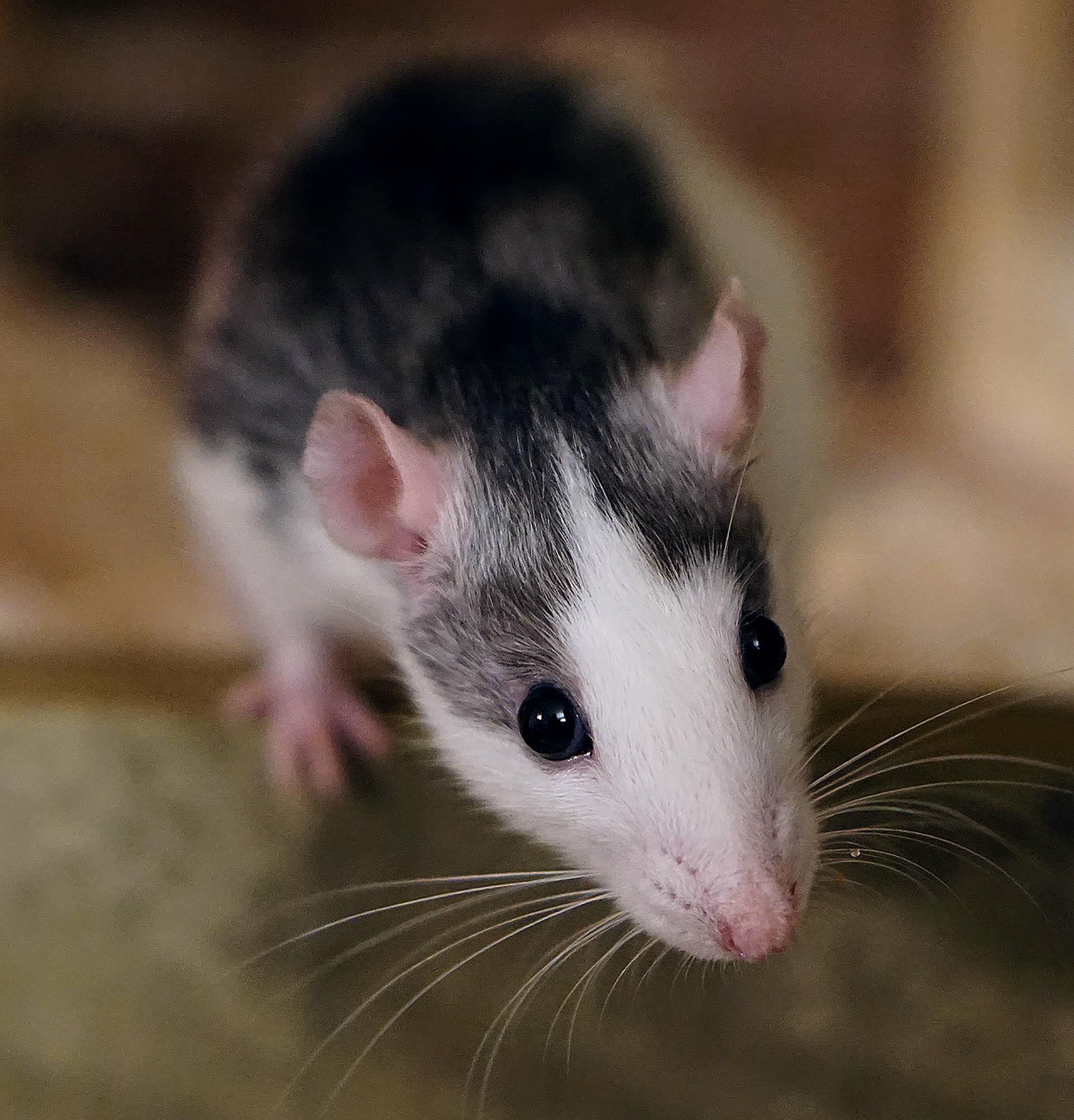 rat-1759483_1920-crpd-adj